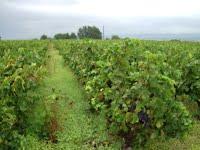Laugendoc vineyard