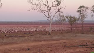 Midway irrigated sandalwood plantation