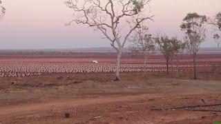 Midway irrigated sandalwood plantation